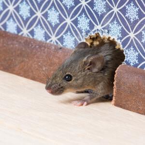 mice control buford