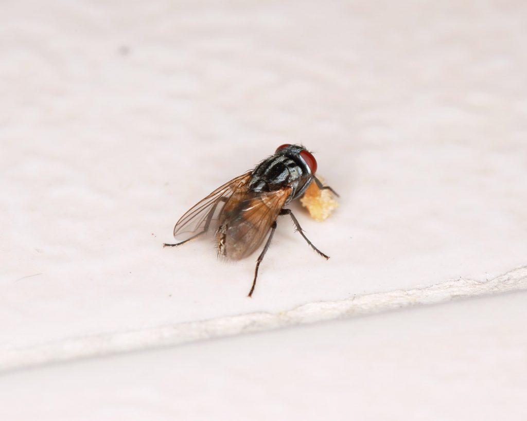 Flies - Why You Don't Want Them Anywhere Near Your Food