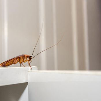 Things you MUST Know About Cockroaches