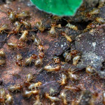 Termites Start Swarming Activity In Spring
