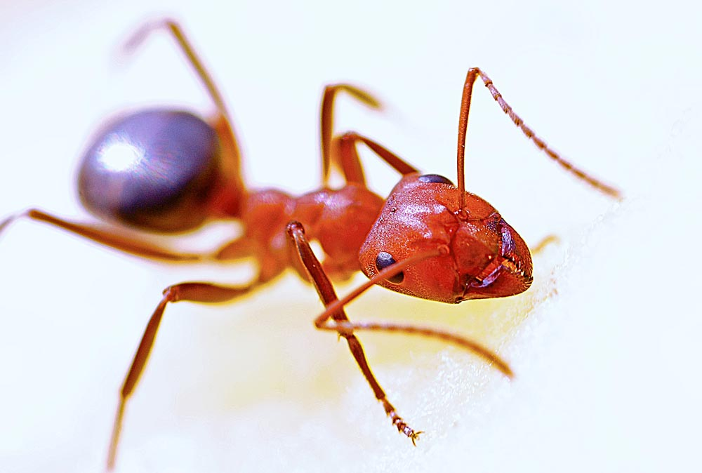 Top-Things-you--Should-Know-About-Fire-Ants