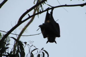 Dealings with Bats Bat Removal