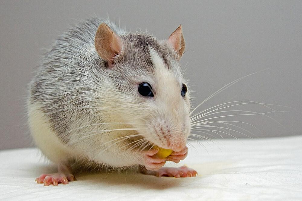Roof Rats - Call Contractors Best