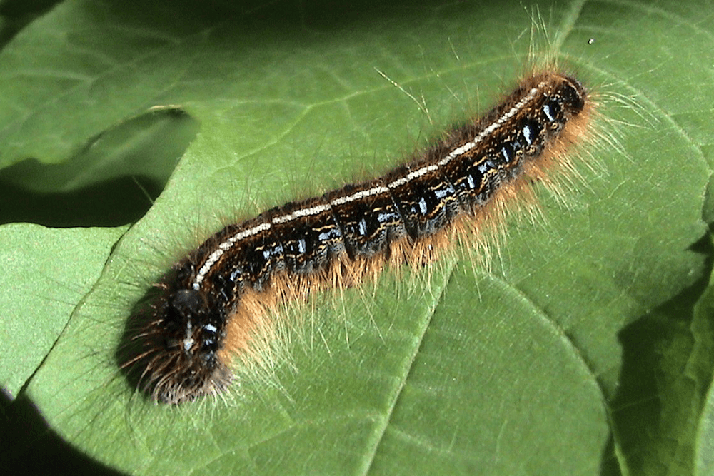 Why Should I Avoid Picking Up Caterpillars?