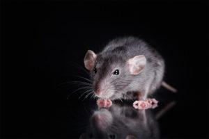 Roof Rats